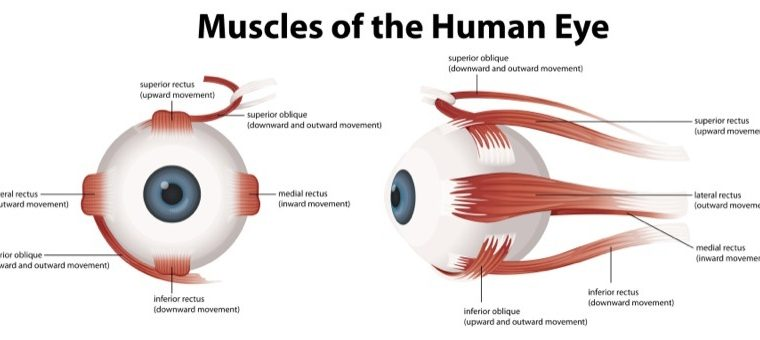 eye muscles of ALS patients